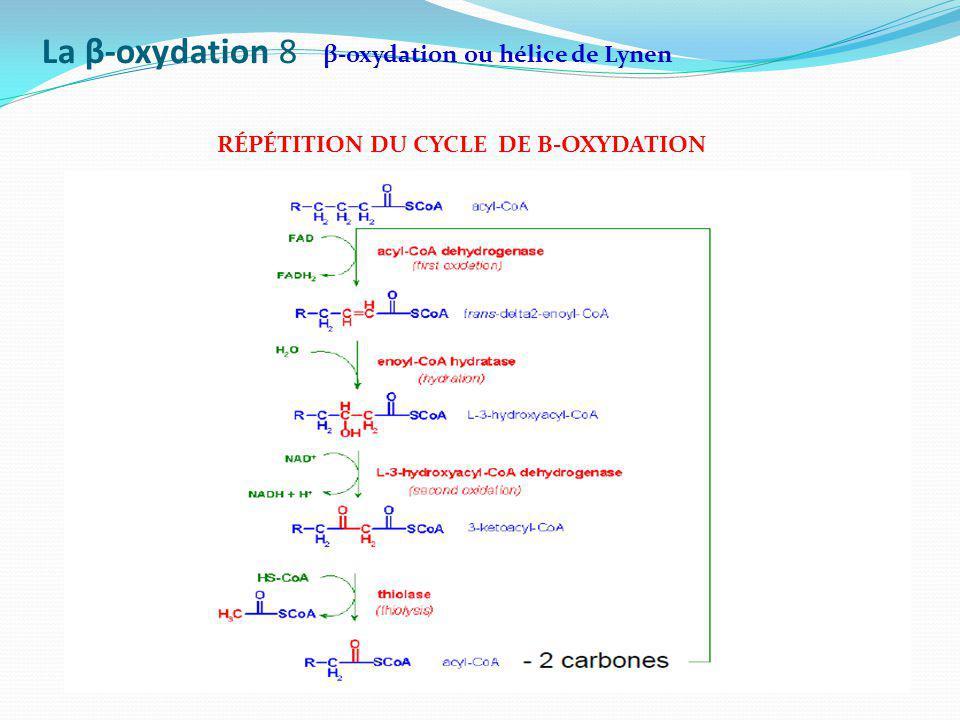 La β-oxydation 8 β-oxydation ou hélice de Lynen