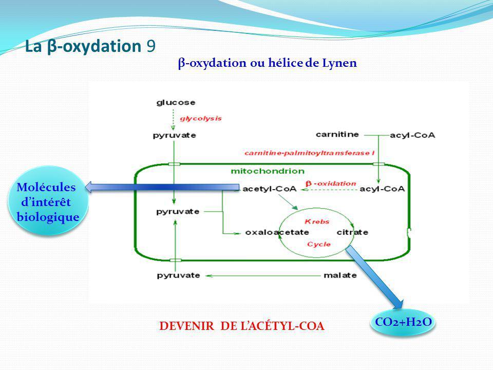 La β-oxydation 9 β-oxydation ou hélice de Lynen Molécules d'intérêt