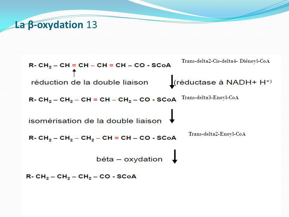 La β-oxydation 13 Trans-delta2-Cis-delta4- Diénoyl-CoA