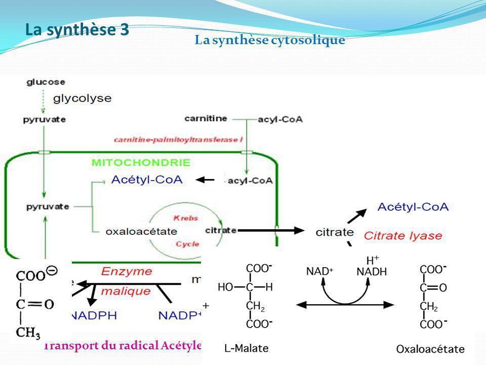 La synthèse 3 La synthèse cytosolique