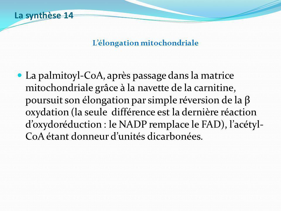 La synthèse 14 L'élongation mitochondriale