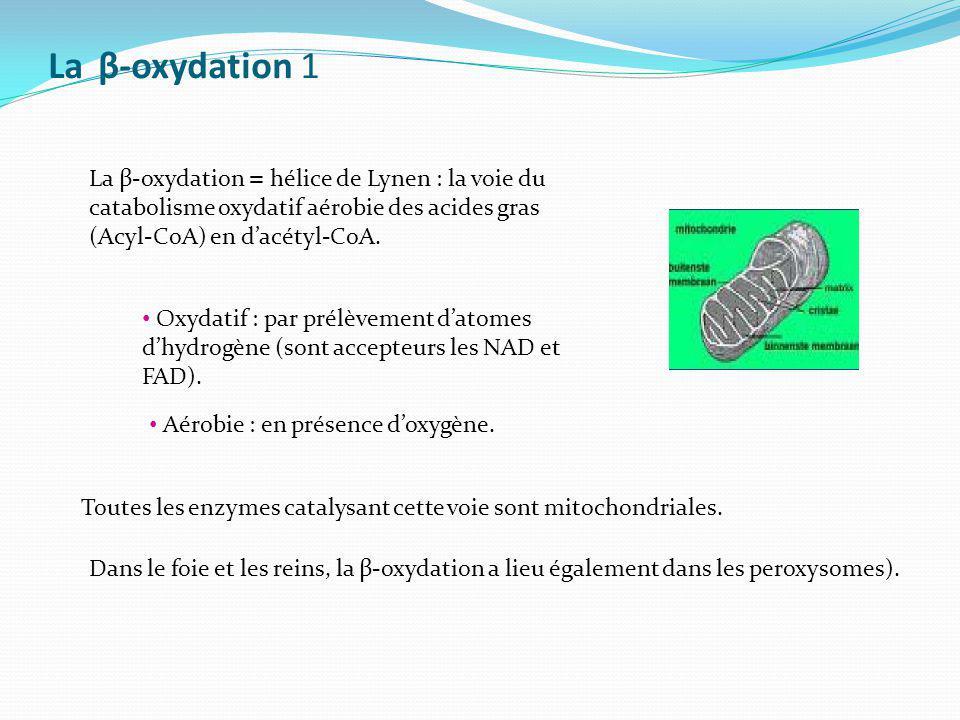 La β-oxydation 1 La β-oxydation = hélice de Lynen : la voie du catabolisme oxydatif aérobie des acides gras (Acyl-CoA) en d'acétyl-CoA.