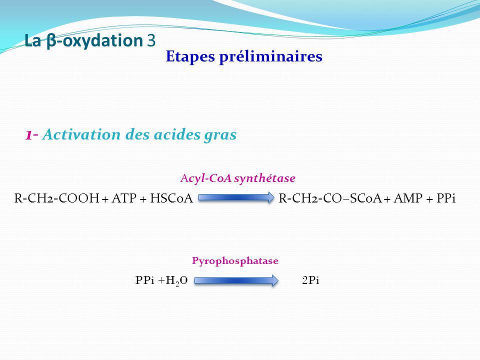 La β-oxydation 3 1- Activation des acides gras Etapes préliminaires