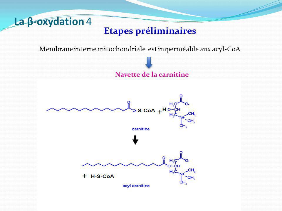 La β-oxydation 4 Etapes préliminaires