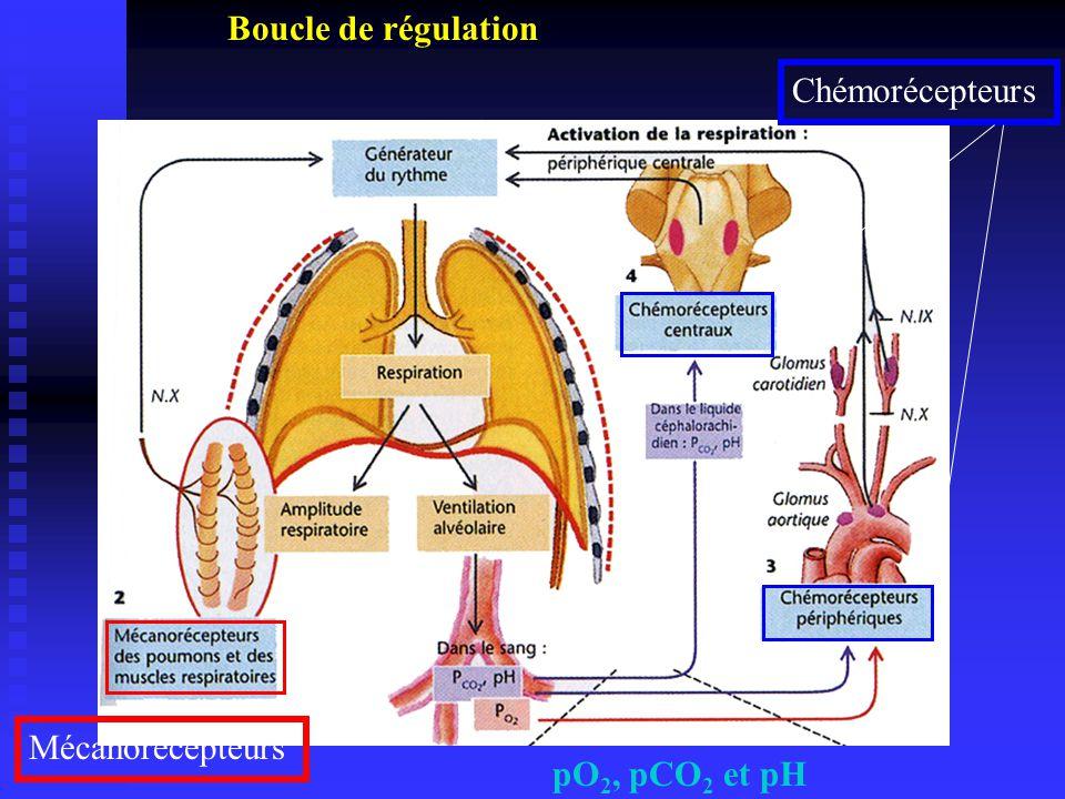 Boucle de régulation Chémorécepteurs Mécanorécepteurs pO2, pCO2 et pH