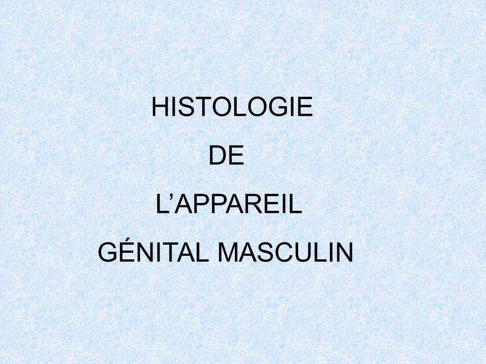 HISTOLOGIE DE L'APPAREIL GÉNITAL MASCULIN