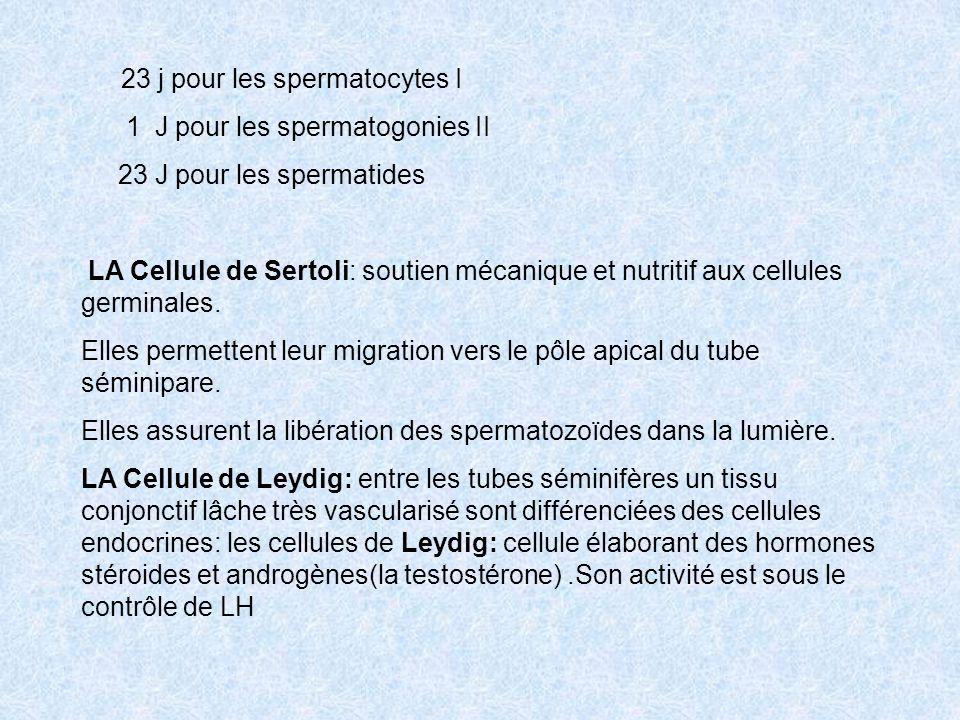 1 J pour les spermatogonies II 23 J pour les spermatides
