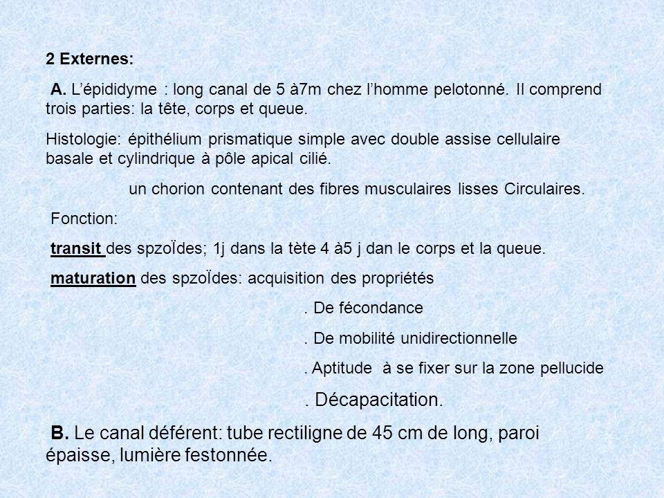 2 Externes: A. L'épididyme : long canal de 5 à7m chez l'homme pelotonné. Il comprend trois parties: la tête, corps et queue.