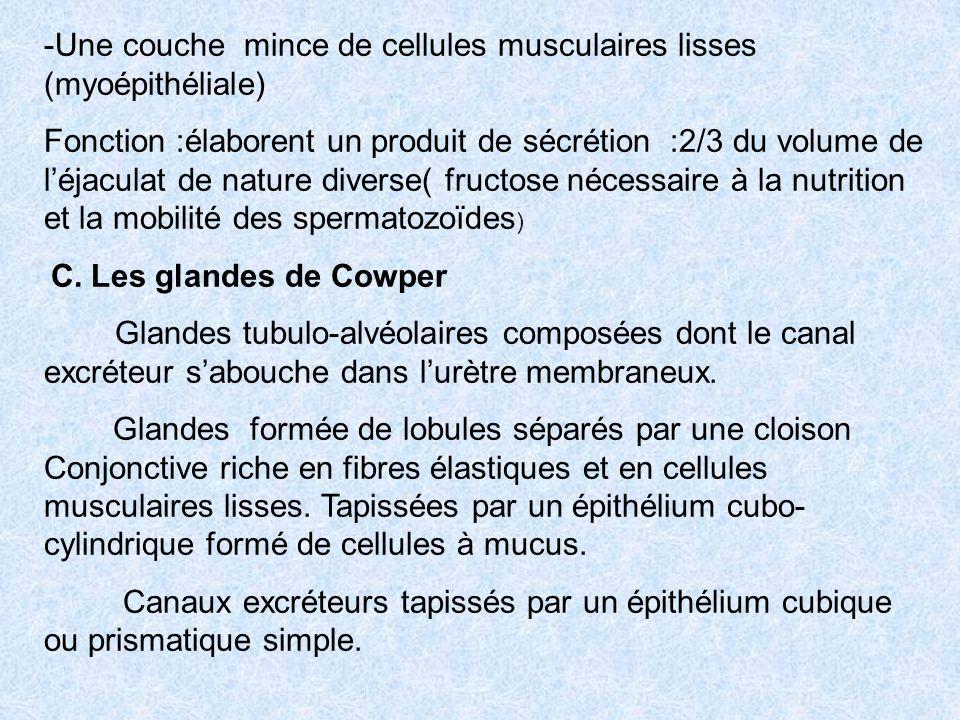 Une couche mince de cellules musculaires lisses (myoépithéliale)