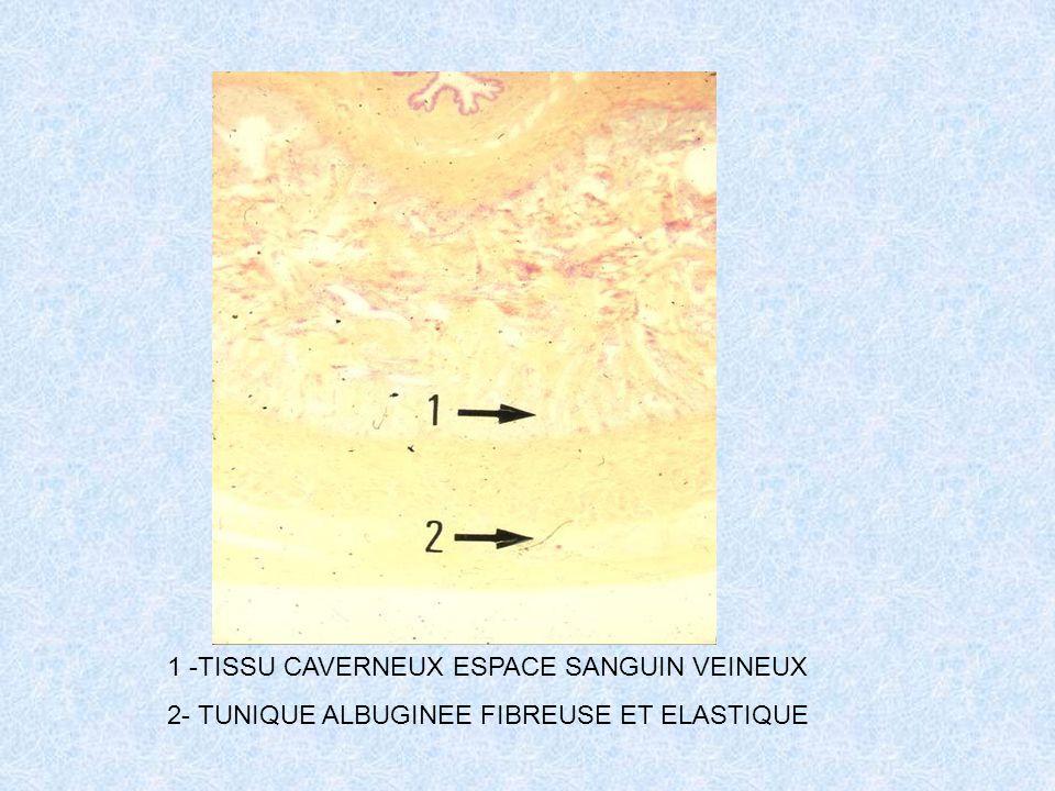1 -TISSU CAVERNEUX ESPACE SANGUIN VEINEUX