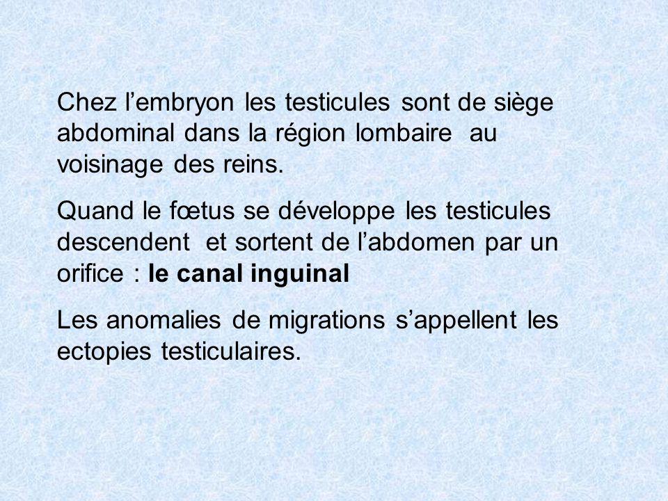 Chez l'embryon les testicules sont de siège abdominal dans la région lombaire au voisinage des reins.