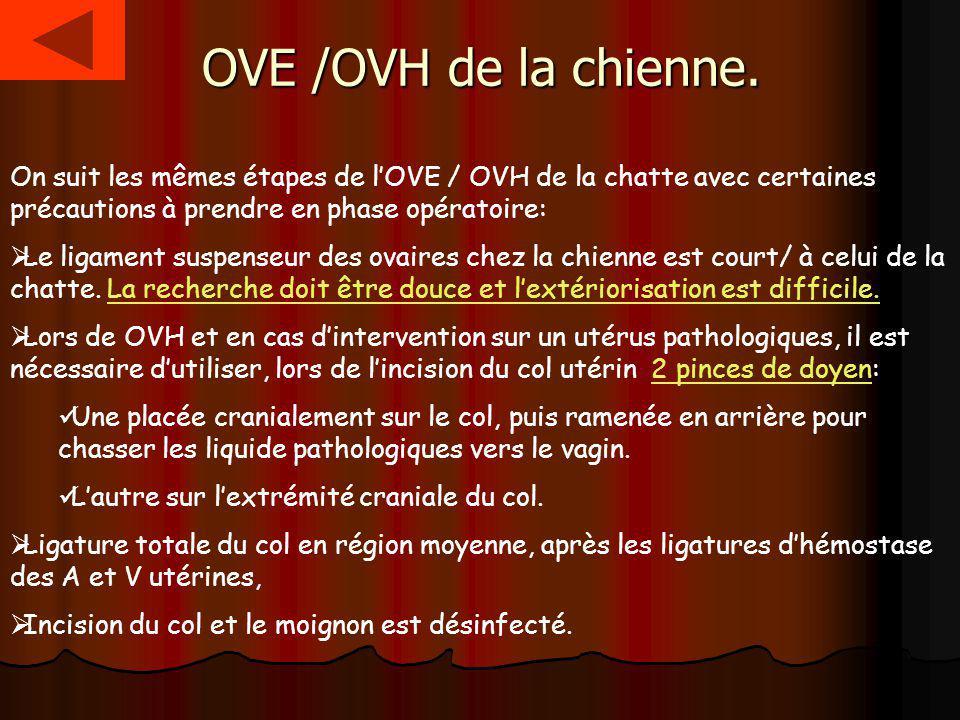 OVE /OVH de la chienne. On suit les mêmes étapes de l'OVE / OVH de la chatte avec certaines précautions à prendre en phase opératoire: