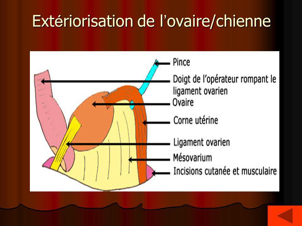 Extériorisation de l'ovaire/chienne