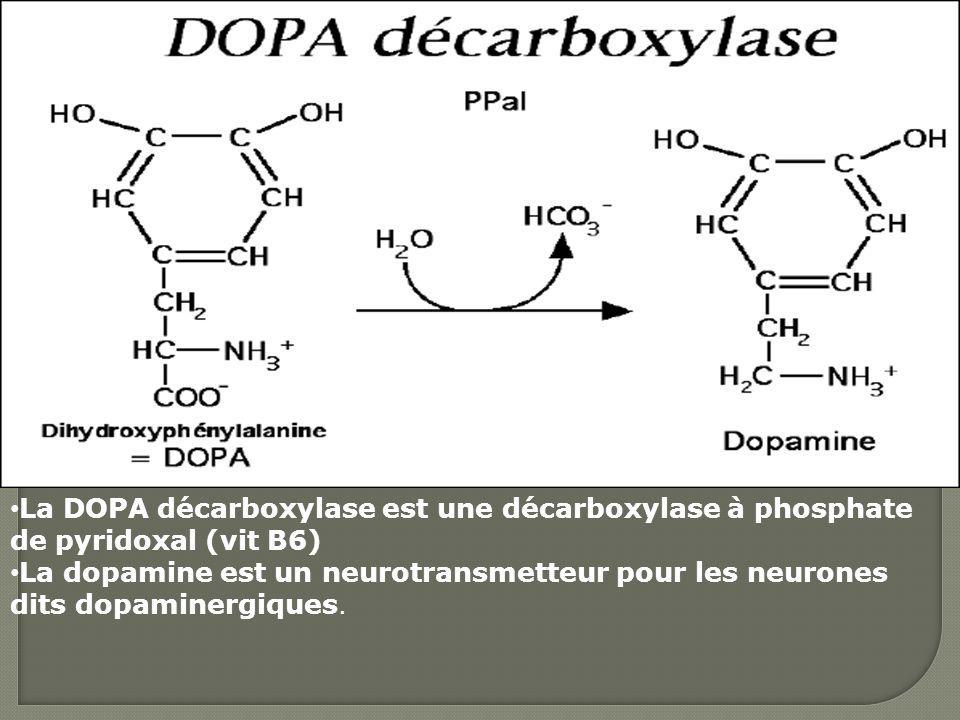 La DOPA décarboxylase est une décarboxylase à phosphate de pyridoxal (vit B6)