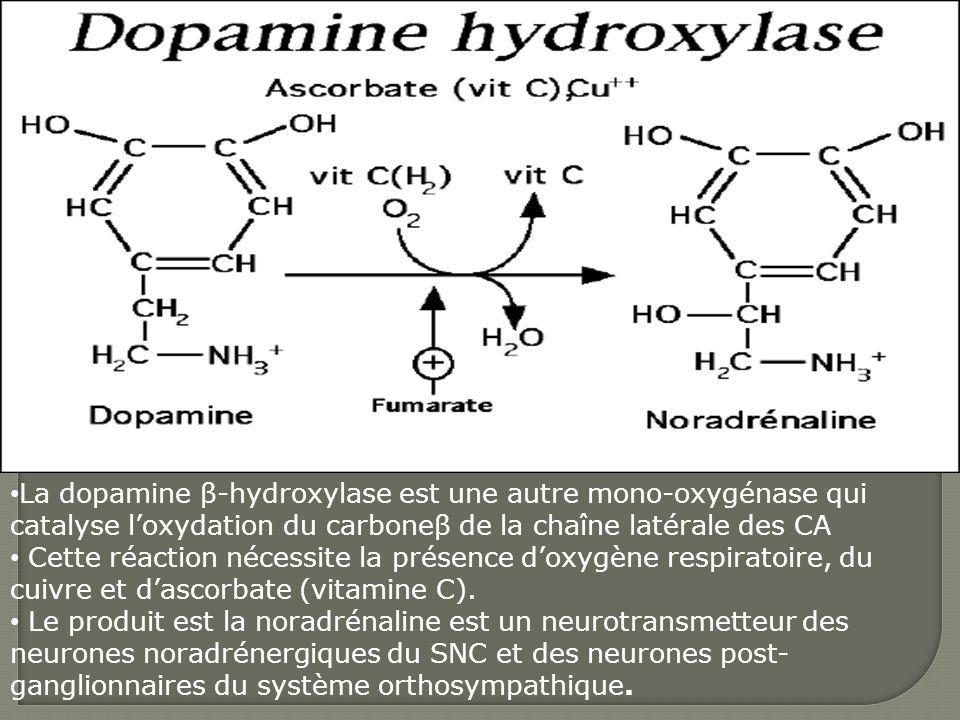 La dopamine β-hydroxylase est une autre mono-oxygénase qui catalyse l'oxydation du carboneβ de la chaîne latérale des CA