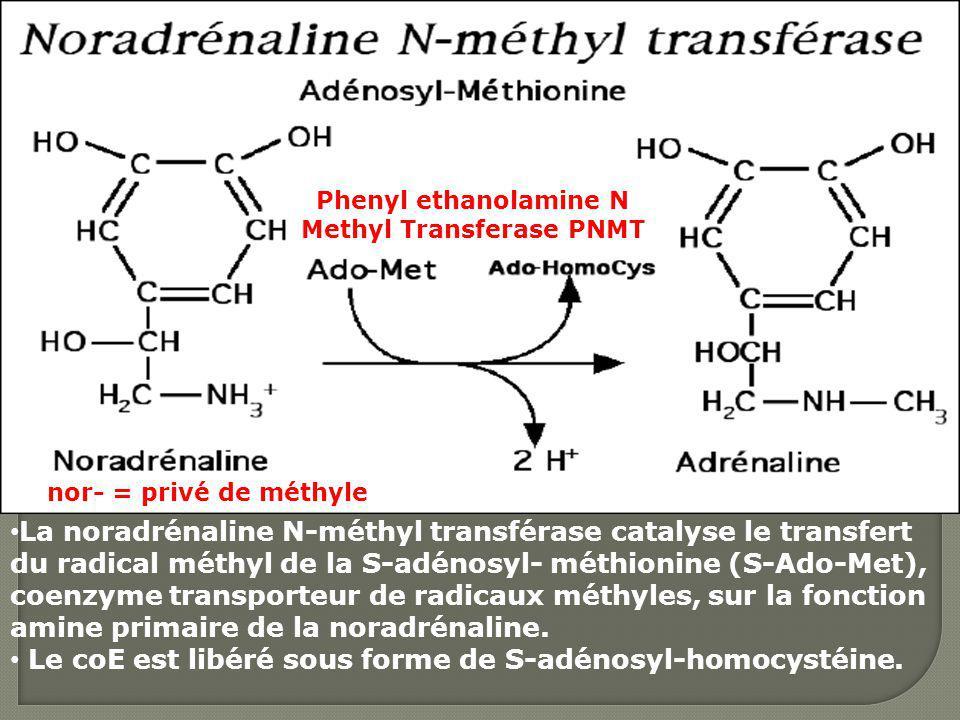 Phenyl ethanolamine N Methyl Transferase PNMT