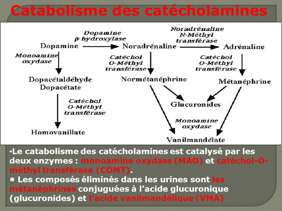 Catabolisme des catécholamines