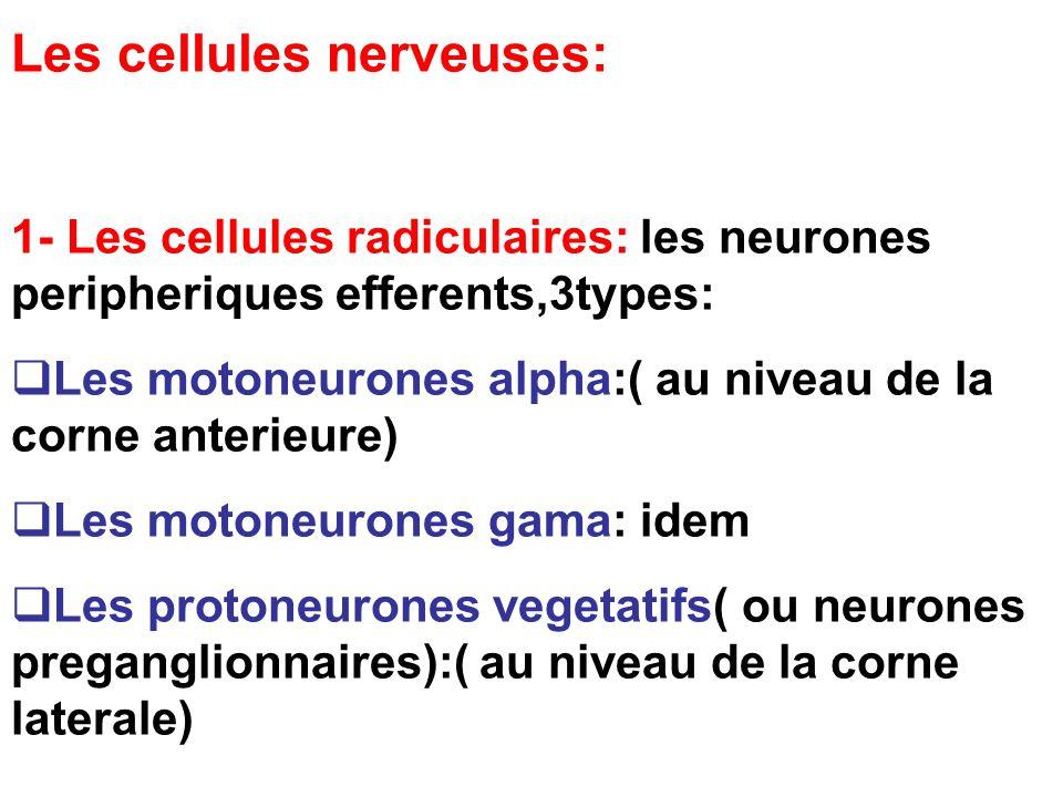 Les cellules nerveuses: