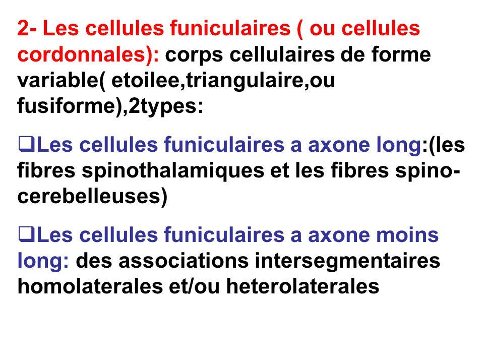 2- Les cellules funiculaires ( ou cellules cordonnales): corps cellulaires de forme variable( etoilee,triangulaire,ou fusiforme),2types: