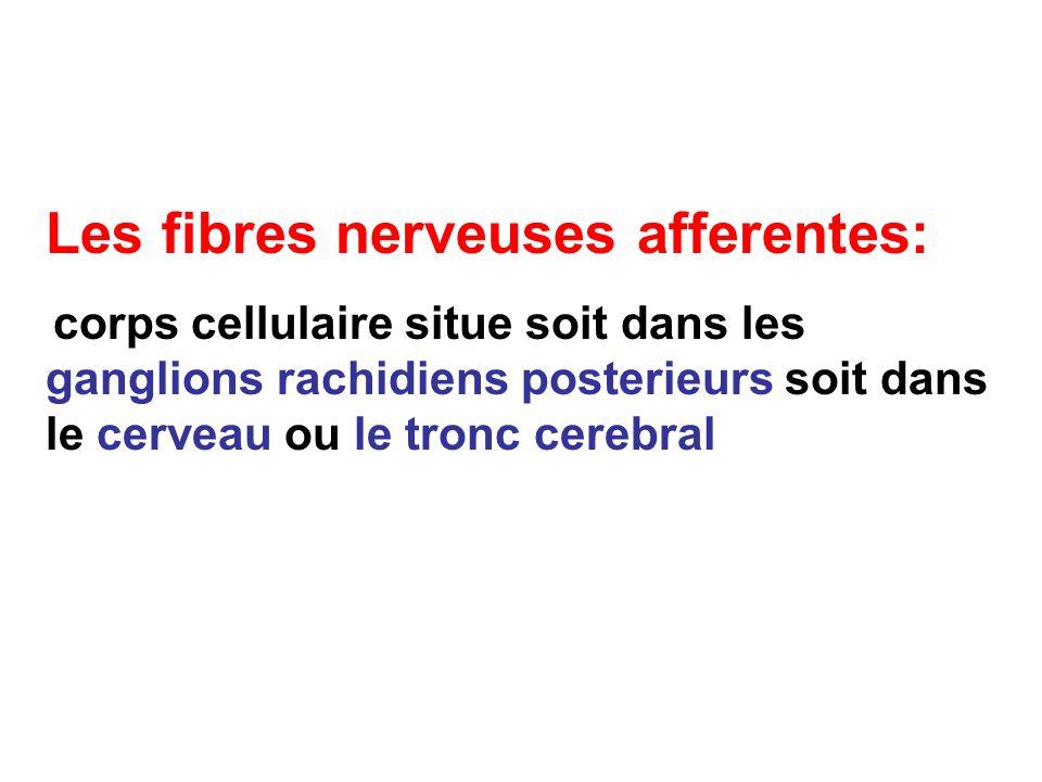 Les fibres nerveuses afferentes: