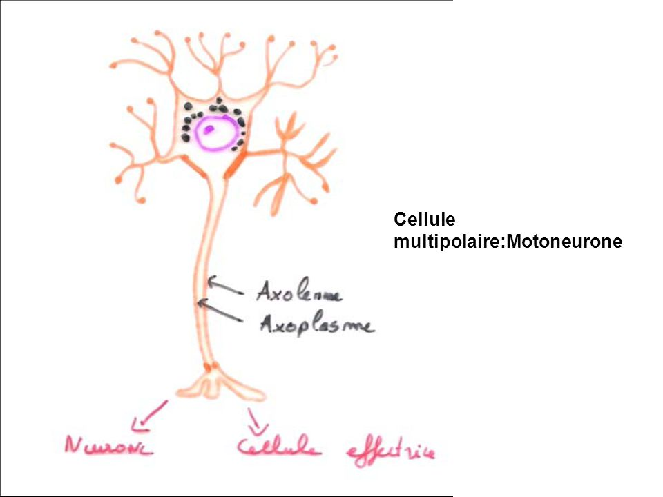 Cellule multipolaire:Motoneurone