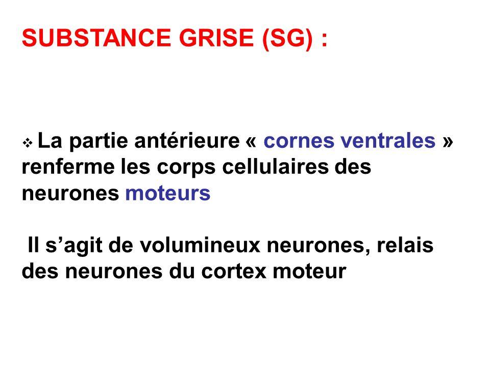 SUBSTANCE GRISE (SG) : La partie antérieure « cornes ventrales » renferme les corps cellulaires des neurones moteurs.