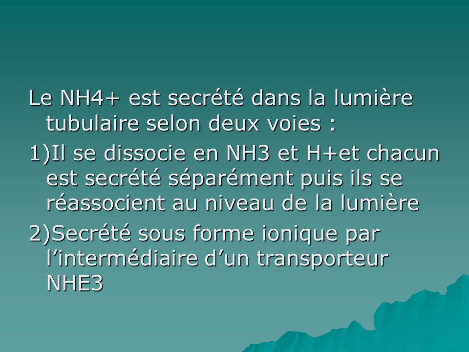 Le NH4+ est secrété dans la lumière tubulaire selon deux voies : 1)Il se dissocie en NH3 et H+et chacun est secrété séparément puis ils se réassocient au niveau de la lumière 2)Secrété sous forme ionique par l'intermédiaire d'un transporteur NHE3