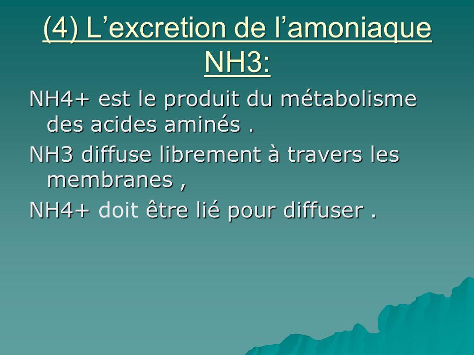 (4) L'excretion de l'amoniaque NH3: