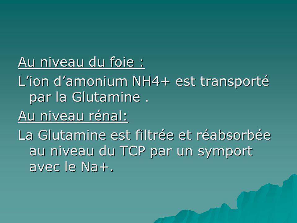 Au niveau du foie : L'ion d'amonium NH4+ est transporté par la Glutamine .