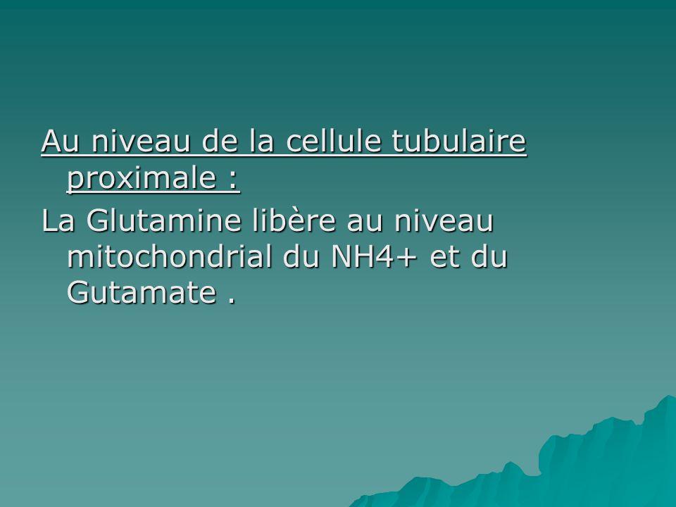 Au niveau de la cellule tubulaire proximale : La Glutamine libère au niveau mitochondrial du NH4+ et du Gutamate .