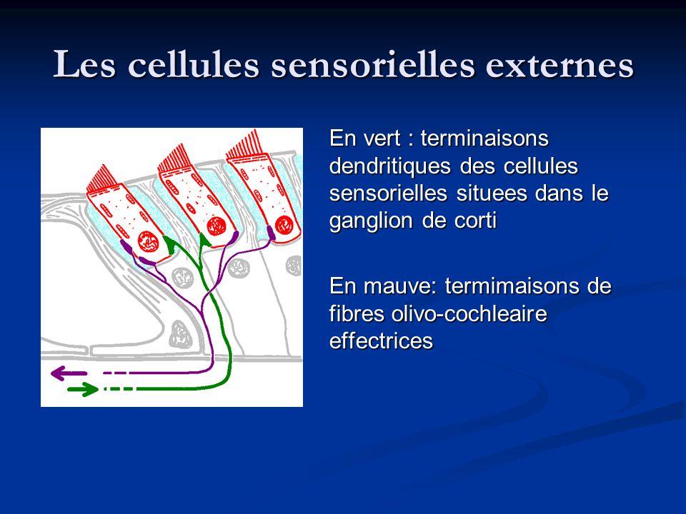 Les cellules sensorielles externes