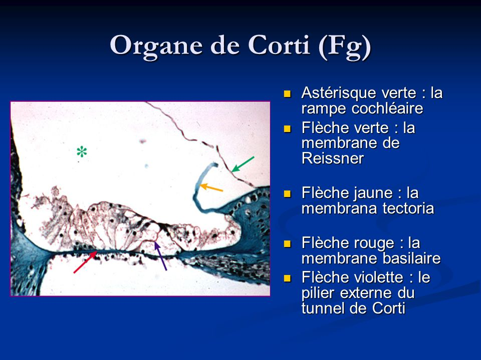 Organe de Corti (Fg) Astérisque verte : la rampe cochléaire
