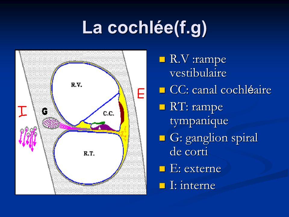 La cochlée(f.g) R.V :rampe vestibulaire CC: canal cochléaire
