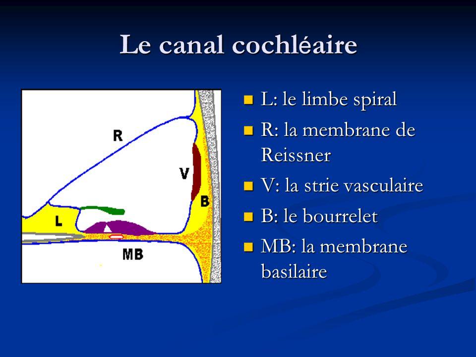 Le canal cochléaire L: le limbe spiral R: la membrane de Reissner