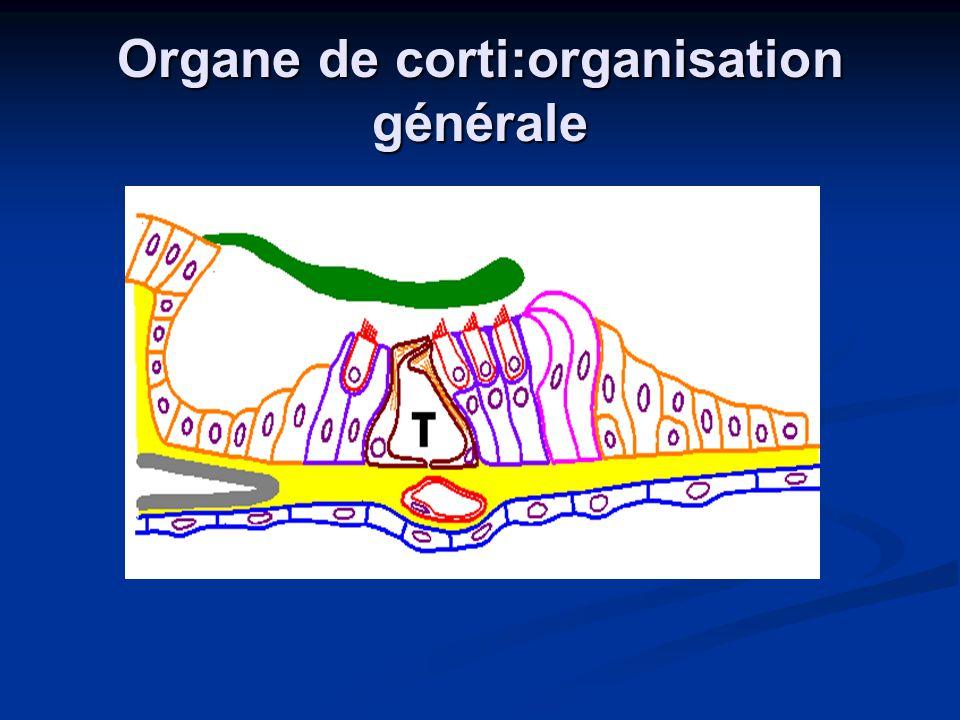 Organe de corti:organisation générale