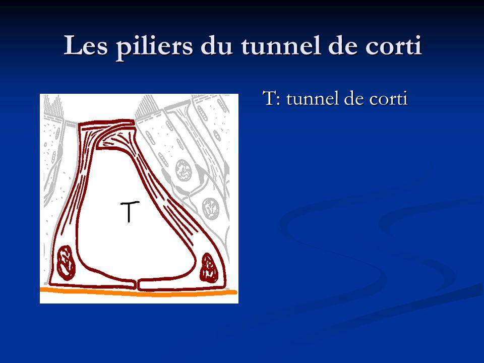 Les piliers du tunnel de corti
