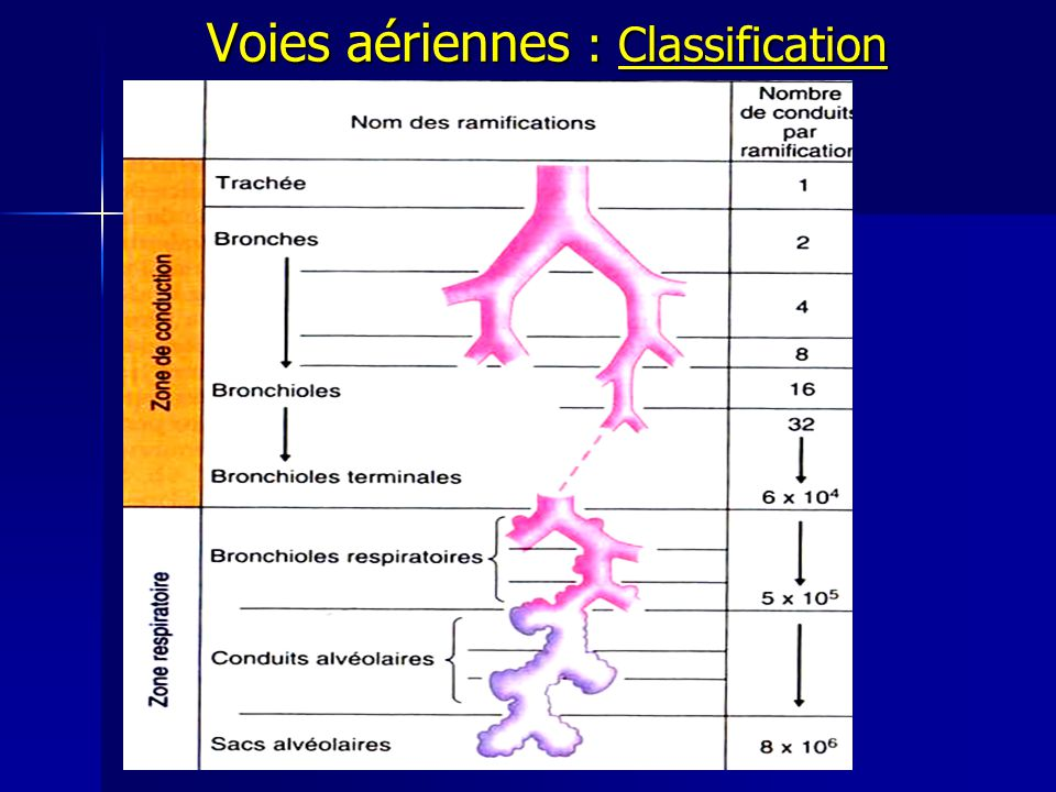 Voies aériennes : Classification