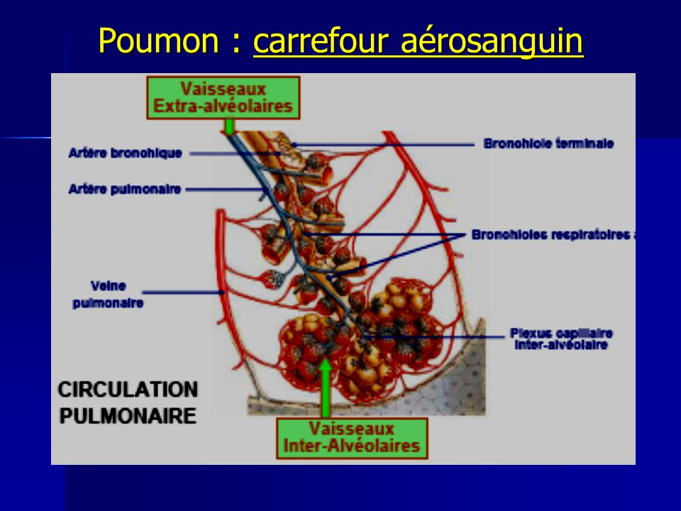 Poumon : carrefour aérosanguin
