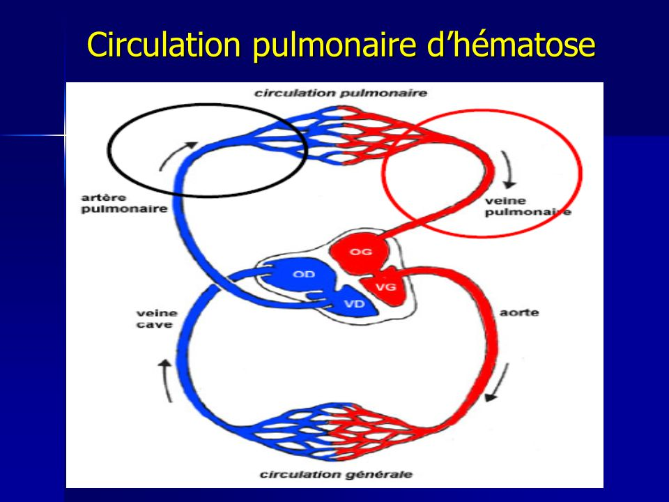 Circulation pulmonaire d'hématose