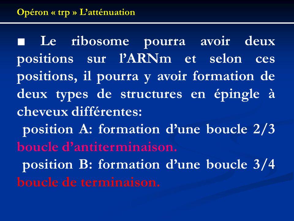  position A: formation d'une boucle 2/3 boucle d'antiterminaison.