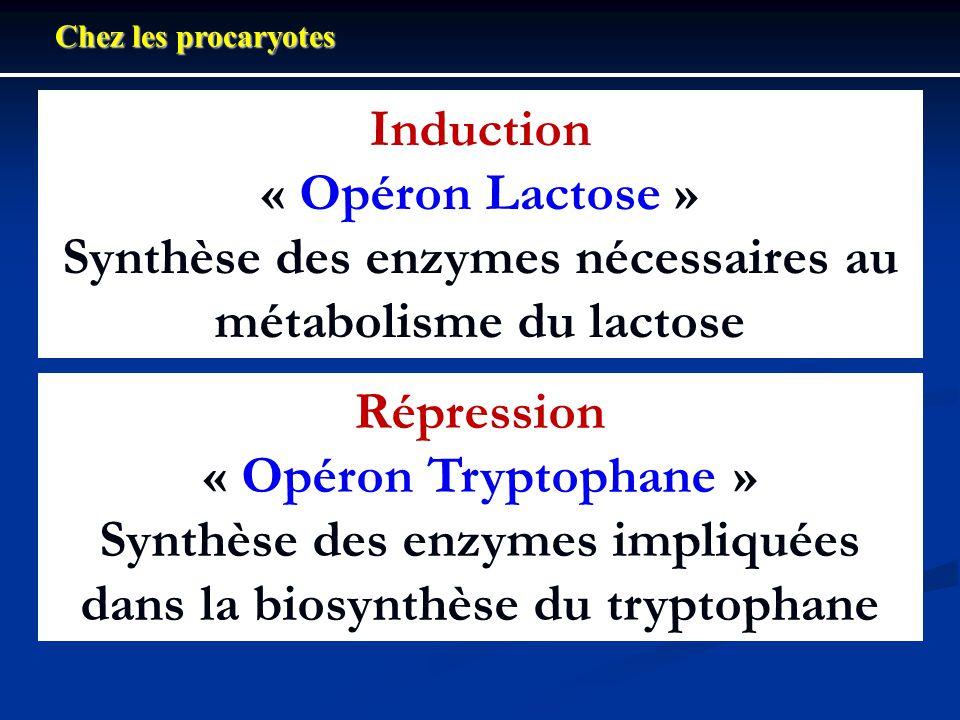 Synthèse des enzymes nécessaires au métabolisme du lactose