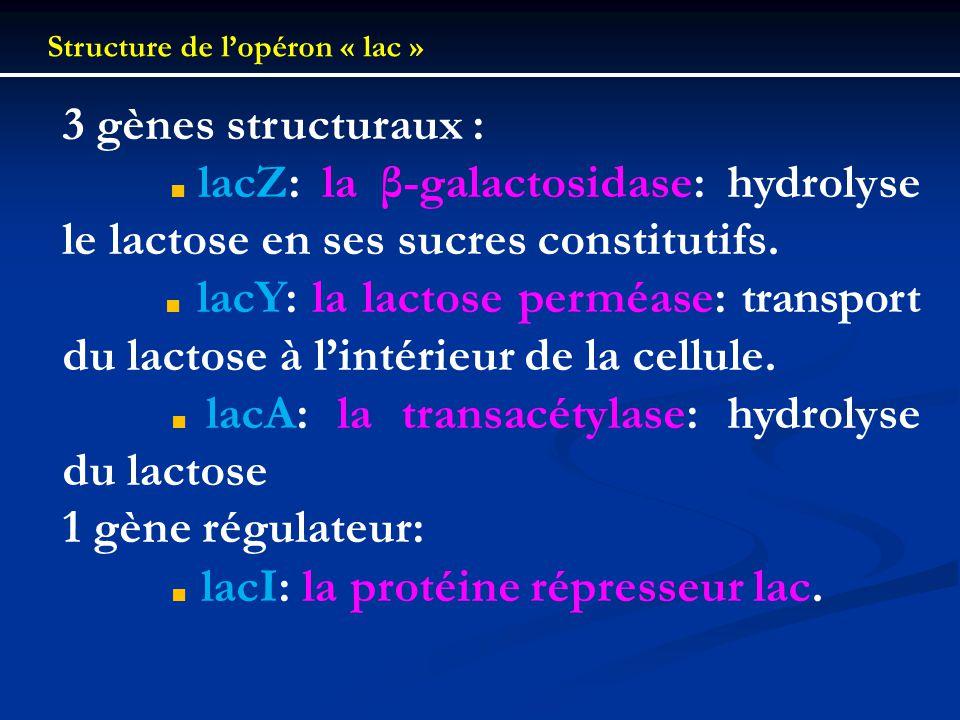 ■ lacA: la transacétylase: hydrolyse du lactose 1 gène régulateur: