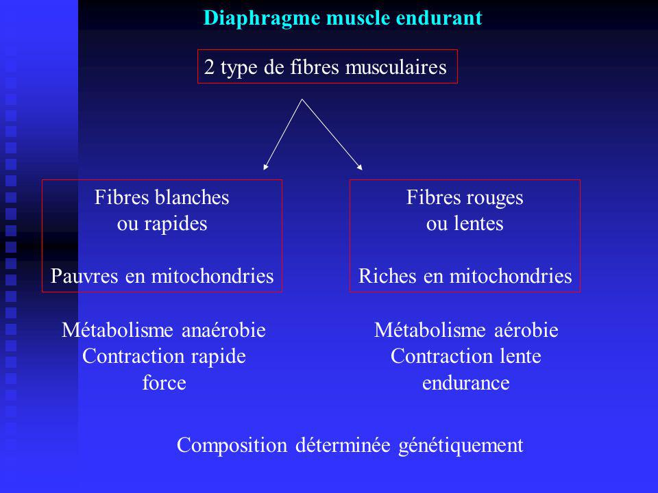 Diaphragme muscle endurant