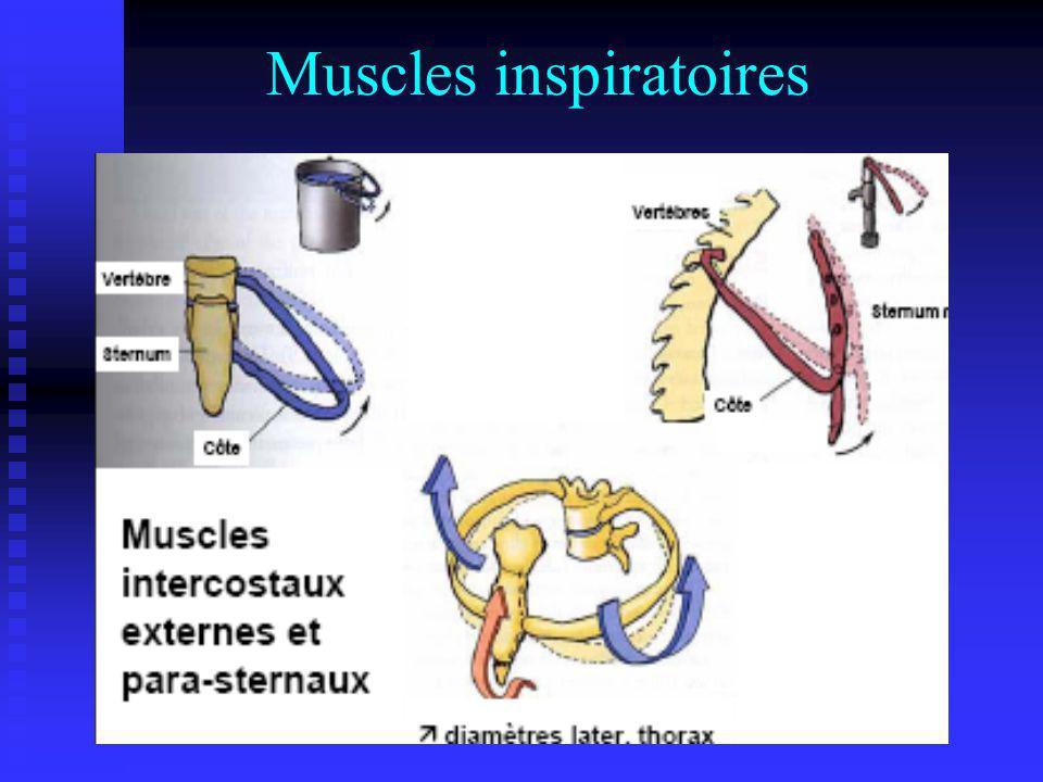 Muscles inspiratoires