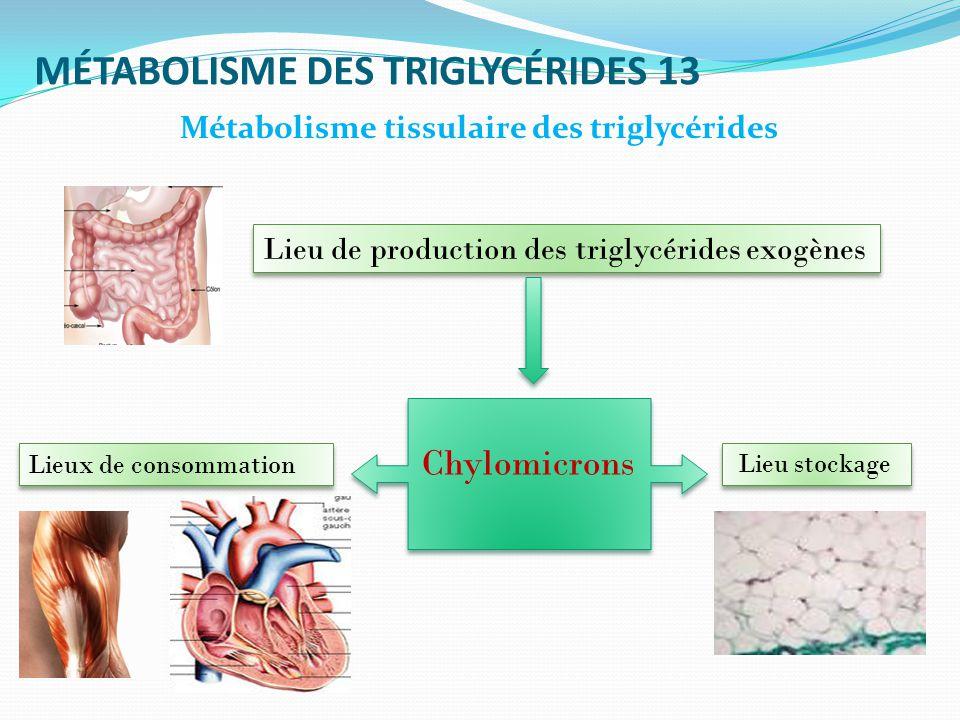 MÉTABOLISME DES TRIGLYCÉRIDES 13