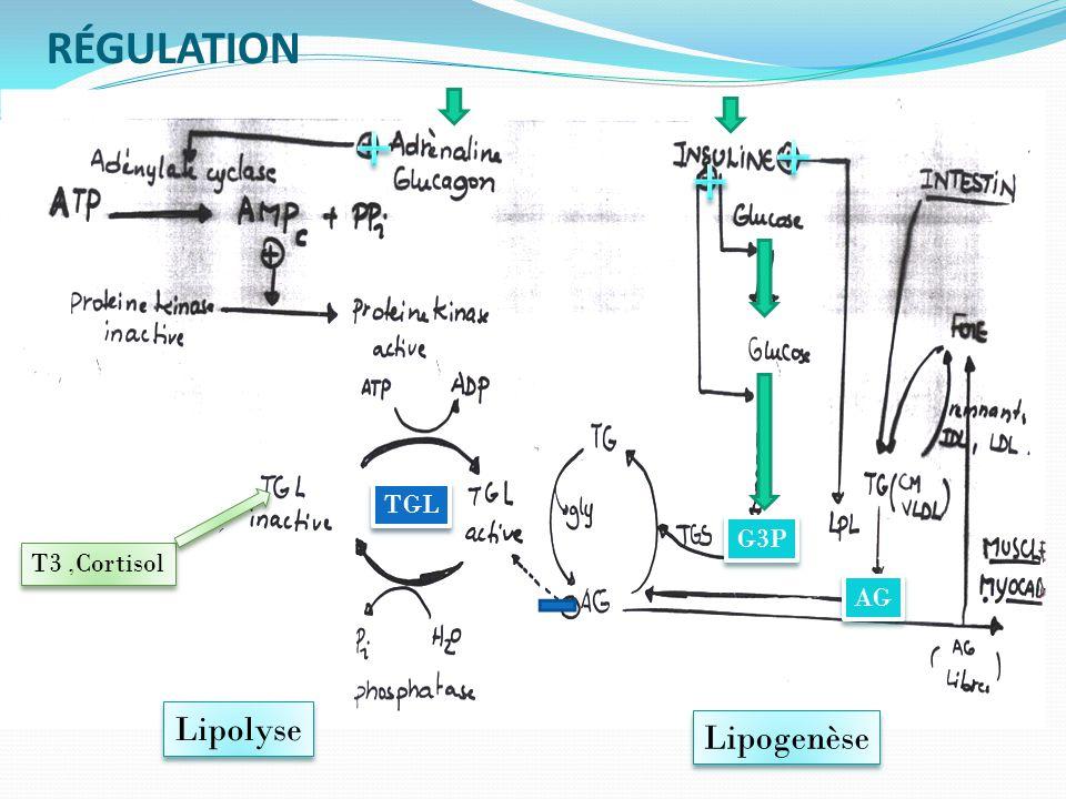 RÉGULATION TGL G3P T3 ,Cortisol AG Lipolyse Lipogenèse