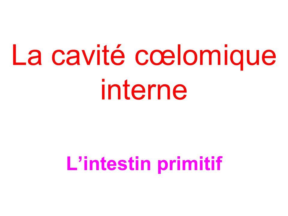 La cavité cœlomique interne