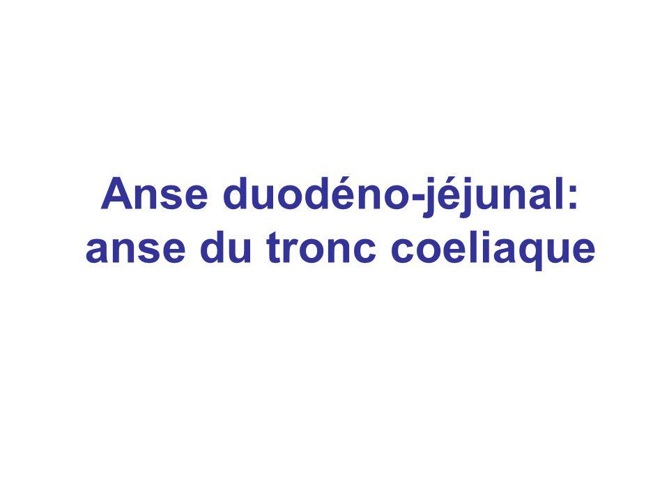 Anse duodéno-jéjunal: anse du tronc coeliaque