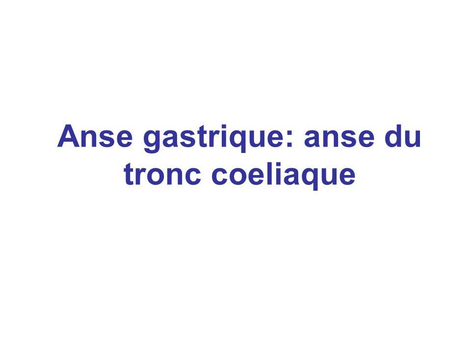 Anse gastrique: anse du tronc coeliaque