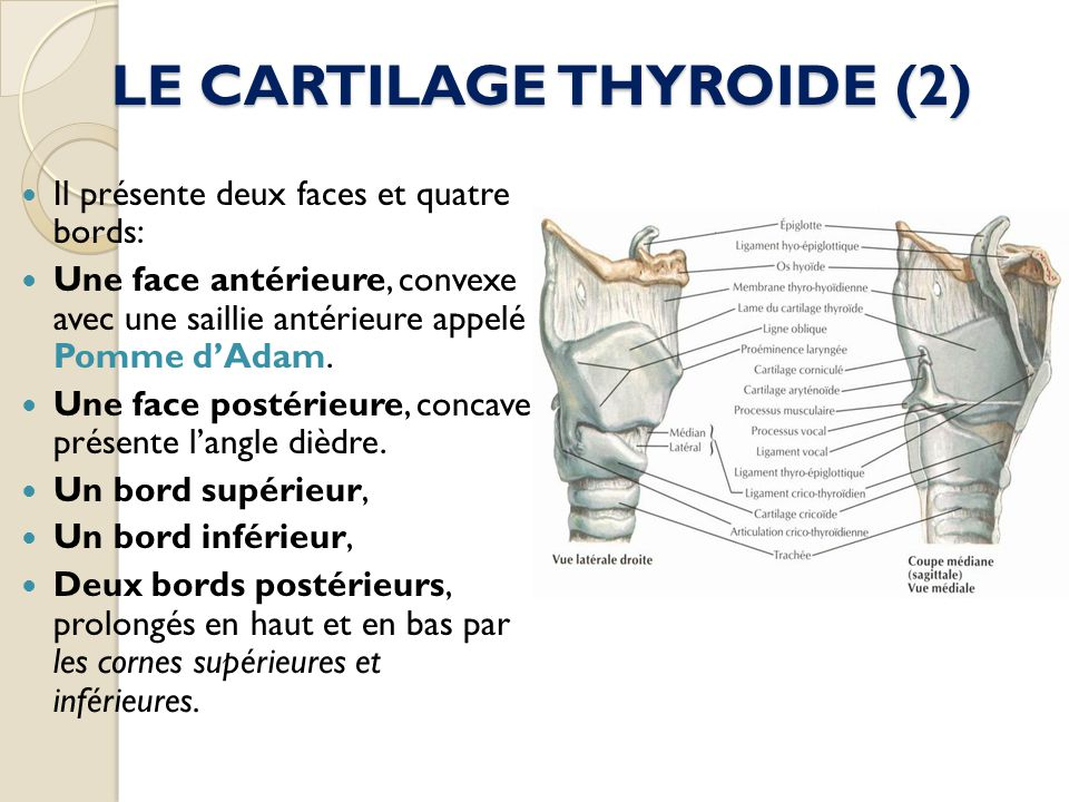 LE CARTILAGE THYROIDE (2)